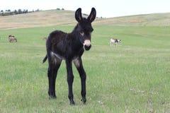 Begging Burro Baby Stock Image
