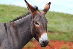 Begging Burro - Custer State Park Royalty Free Stock Photos