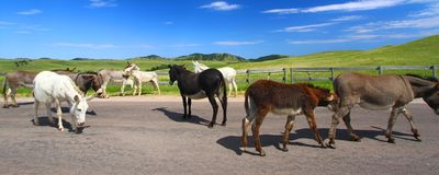 Begging Burros Custer State Park royalty free stock photos