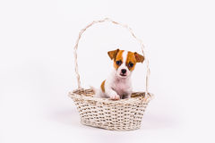 Begging chihuahua puppy Royalty Free Stock Photo