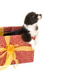 Begging christmas puppy in a gift Royalty Free Stock Image