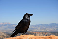 Begging Crow Royalty Free Stock Image