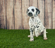 Begging Dalmatian Puppy Stock Photos