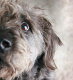 Begging dog. A black and gray mutt begging for a treat with it's eyes Stock Photos