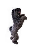 Begging dog. Kerry-blue terrier isolated on white background. Begging dog Stock Photo