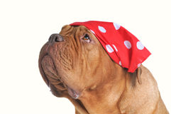 Begging dog with red bandana. Of polka-dot design Royalty Free Stock Photo