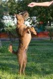 Begging dog Royalty Free Stock Images