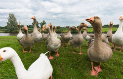 Begging geese Royalty Free Stock Photos