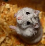 Begging hamster. On sawdust in a cage Royalty Free Stock Images