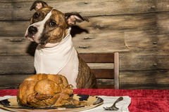 Begging for the Holiday Feast Royalty Free Stock Image