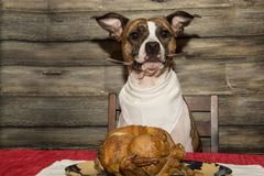 Begging for the Holiday Feast Stock Photography