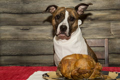 Begging for the Holiday Feast Royalty Free Stock Photography
