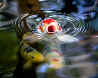 Begging Koi stock image