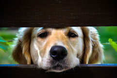 Begging look of golden retriever. Golden retriever begging to come inside Royalty Free Stock Photo