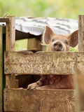 Begging piglet. Piglet heard me coming and was peering over the sty to see if I had brought it anything to eat.  This was on a Niue subsistence farm Royalty Free Stock Photography