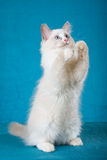 Begging Ragdoll on blue background Royalty Free Stock Photography