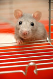 Begging Rat. A beautiful pet rat with beautiful cute little fingers Stock Photo
