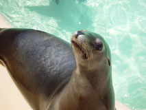 BEGGING SEAL. THIS IS A SEAL, THAT IS LOOKING FOR SOMETHING TO EAT Royalty Free Stock Photo