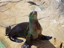 BEGGING SEAL. THIS IS AN IMAGE OF A SEAL, LOOKING FOR SOMEONE TO THROW HIM SOME FOOD Royalty Free Stock Photography