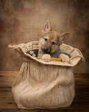 Begging shepherd puppy Royalty Free Stock Images