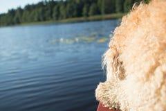 begie psi owłosiony przeciw niebieskiemu niebu, woda, zieleni płochy i las i zdjęcia stock