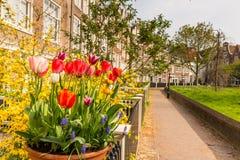 Begijnhof tulips. Flowers in yards of chapel Begijnhof at Amsterdam stock photos