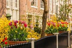 Begijnhof tulips. Flowers in yards of chapel Begijnhof at Amsterdam stock images