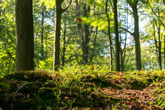 Begin autumn forest. The start of autumn in a local forest in belgium royalty free stock photography