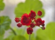 Begin te bloeien knoppen van rode geranium op bleek - groene achtergrond royalty-vrije stock fotografie