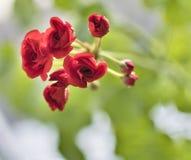 Begin te bloeien knoppen van rode geranium op bleek - groene achtergrond stock foto