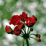 Begin te bloeien knoppen van rode geranium op bleek - groene achtergrond stock afbeeldingen