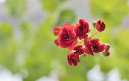 Begin te bloeien knoppen van rode geranium op bleek - groene achtergrond royalty-vrije stock foto
