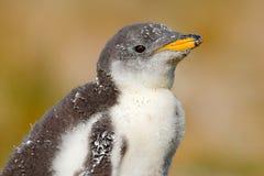 Beging Lebensmittel jungen gentoo Pinguins neben erwachsenem gentoo Pinguin, Falkland Islands Szene der wild lebenden Tiere von d Stockbild