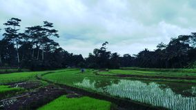 Very cool ricefield royalty free stock photography