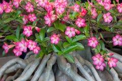 Beginn mit Azaleenblumen stockbilder