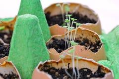 Beginnende zaailingen in eierschalen Stock Afbeelding