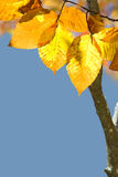 Beginning of Autumn. Closeup of leaves changing color Royalty Free Stock Image