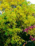 Great deciduous tree with green and already autumnal yellow foliage. Beginning of autumn coloration in the forest, deciduous forest in light green and dark green stock photography