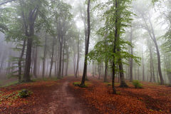Beginning of autumn in a foggy forest Stock Images