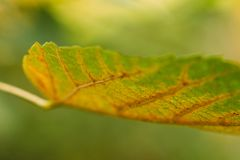 Beginning of autumn. The leaf on the tree begins to turn yellow royalty free stock images