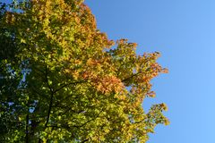The beginning of autumn. Maple tree branches with green and orange leaves against clear blue sky. Beautiful image. With place for text stock images
