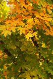 Beginning of Autumn Tree Color Royalty Free Stock Photo