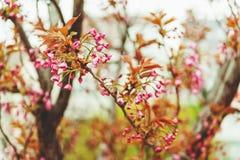 Beginning of cherry blossom . Stock Photos
