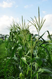 Beginning of the Corn Stock Images