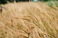 Barley spike ripened on the background of a yellow field. Macro. royalty free stock images