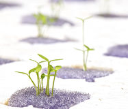 Beginning hydroponic plant Stock Images