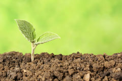 Beginning of a new life. A seedling is growing in the dirt, concept beginning of a new life Stock Photography
