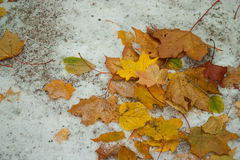 Free Beginning Of Winter, End Of Autumn, Leaves Under Snow Royalty Free Stock Photography - 76350697