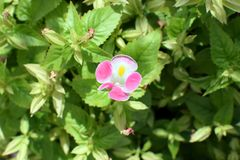 Beginning of the pink flower Stock Photos