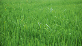 The beginning of rice in the paddy royalty free stock photo